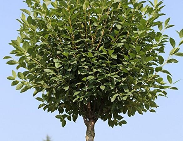sierkers bolvorm prunus fruticosa 39 globosa 39 bol bomen bomen sierbomenspecialist. Black Bedroom Furniture Sets. Home Design Ideas